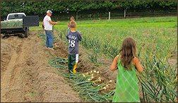 Harvesting at Adams Garlic